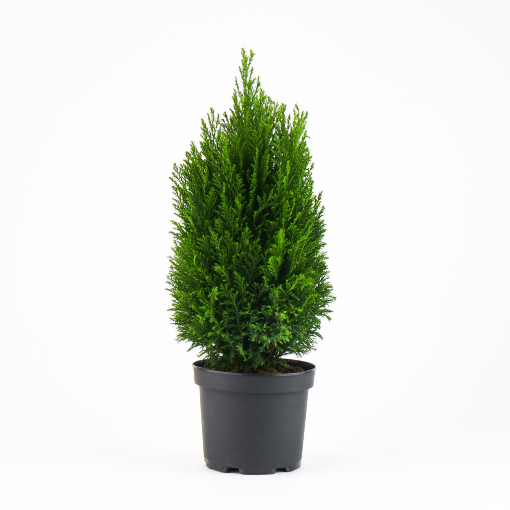 Coastal Nursery European Cypress