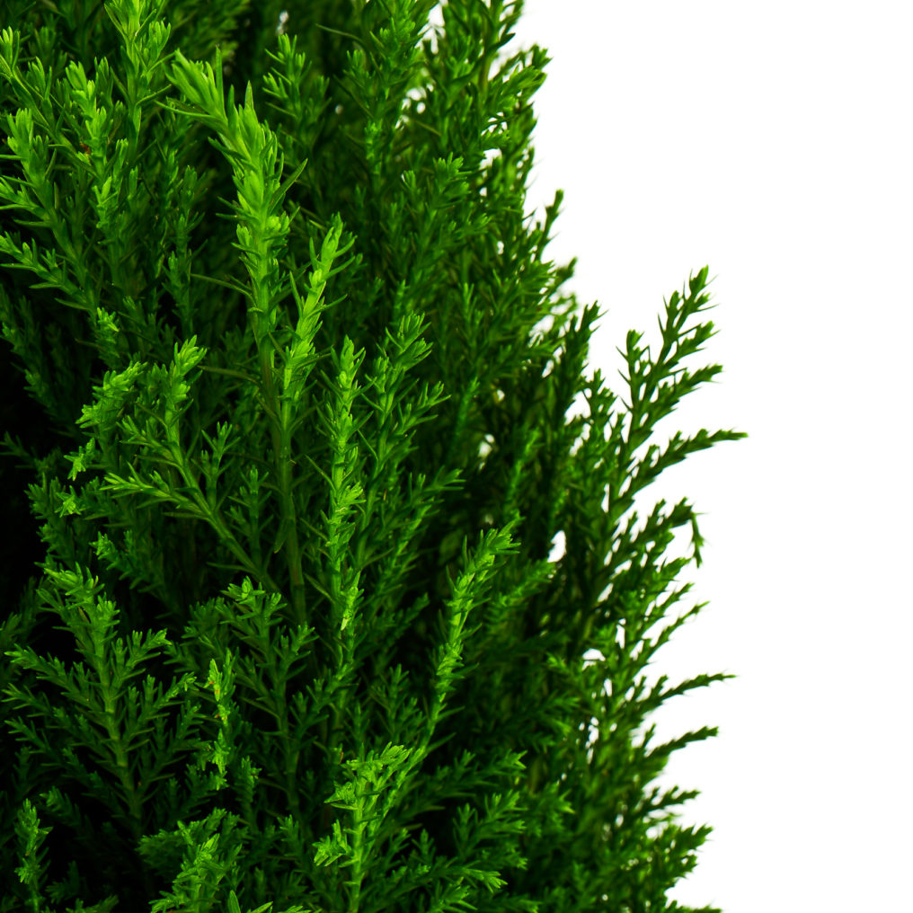 European Cypress Plants Wholesale - Coastal Nursery ...