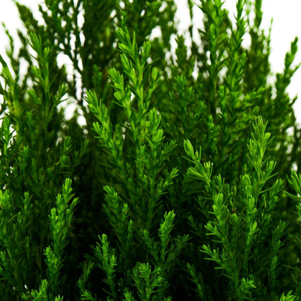European Cypress Plants Wholesale