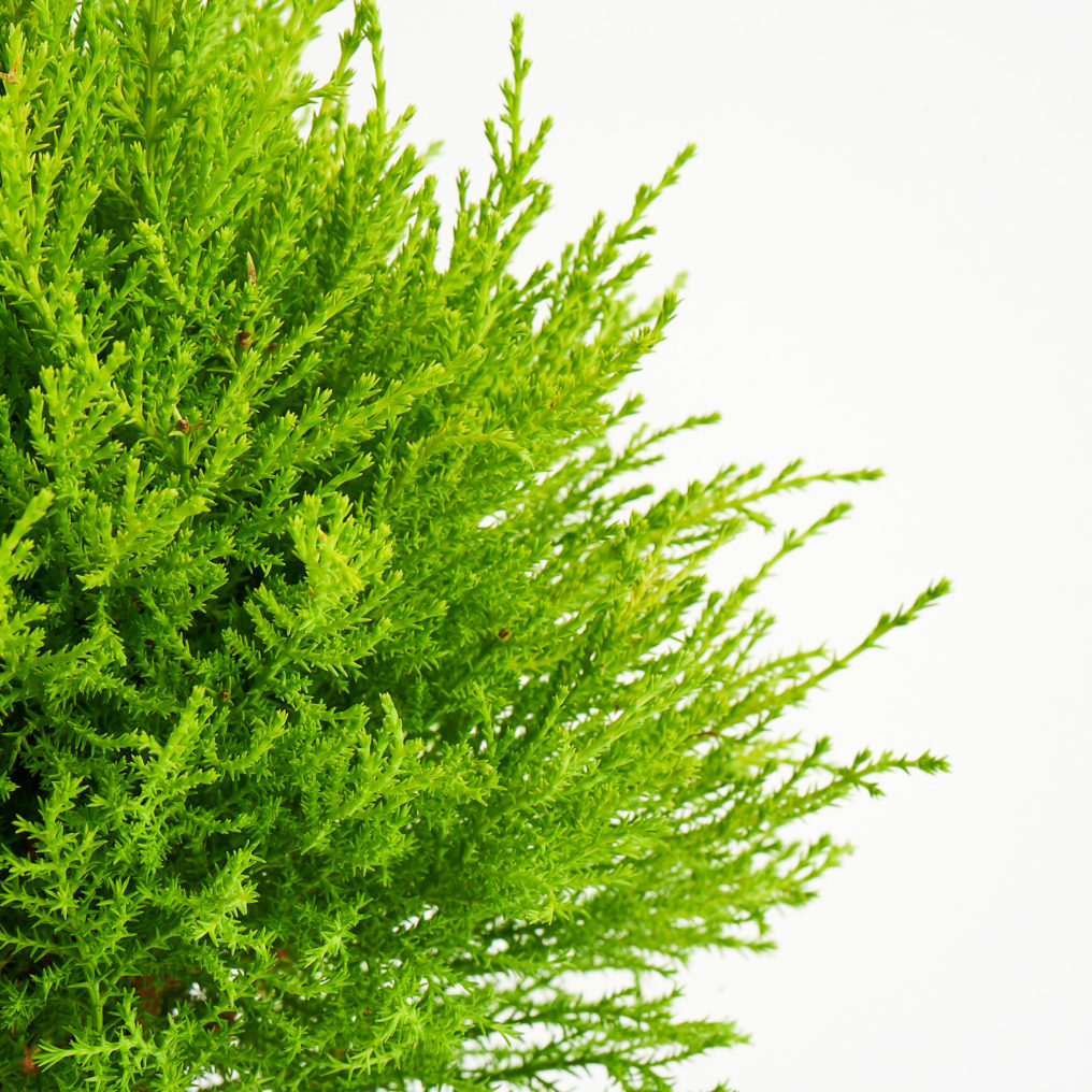 Coastal Nursery Lemon Cypress Topiary