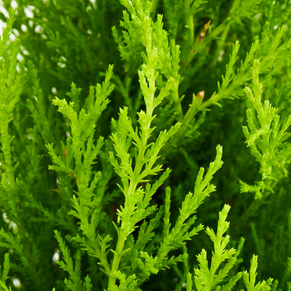 Coastal Nursery Lemon Cypress