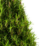 Coastal Rosemary Detail 2