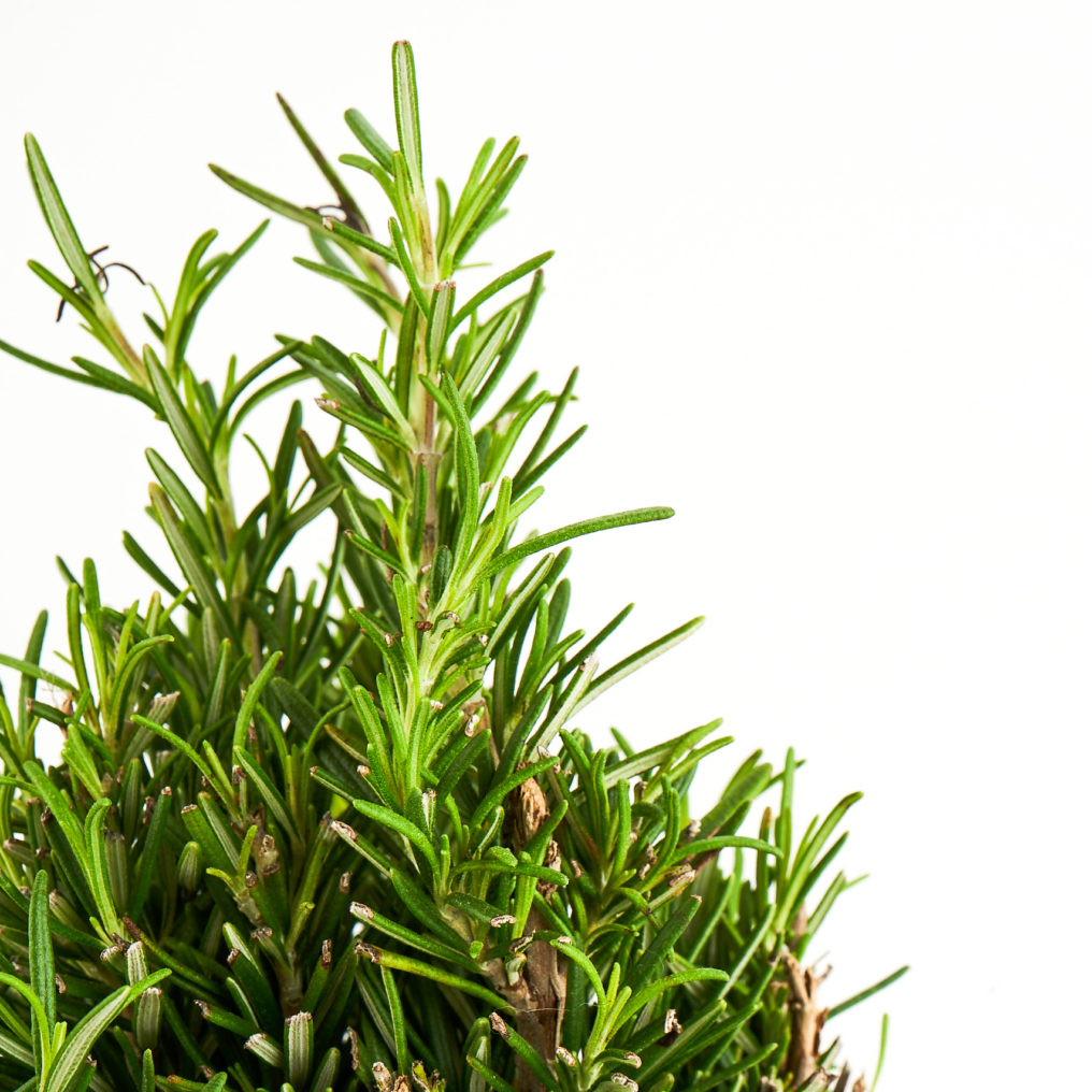 Coastal Rosemary Detail 1